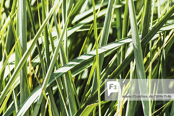 'An ornamental grass provides a restful garden scape on the grounds of the University of Alberta hospital; Edmonton  Alberta  Canada'