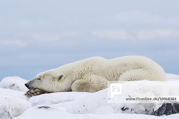 'Polar bear (ursus maritimus) along the Hudson Bay coastline waiting for the bay to freeze over; Churchill  Manitoba  Canada'