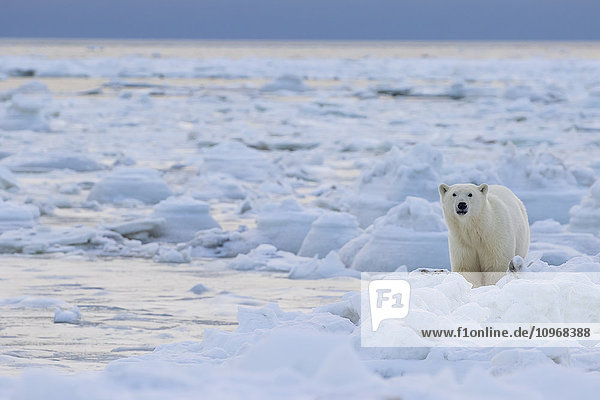 'Polar bear (ursus maritimus) along the Hudson Bay coast waiting for the bay to freeze over; Manitoba  Canada'