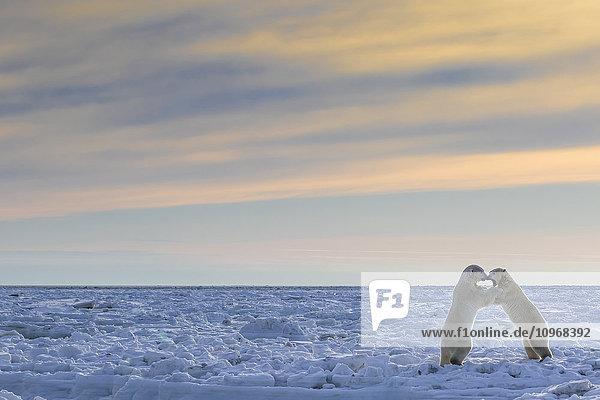 'Polar bears (ursus maritimus) sparring on the coast of Hudson Bay; Manitoba  Canada'