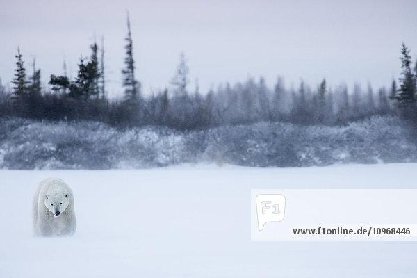'Polar bear (ursus maritimus) walking in a blizzard; Churchill  Manitoba  Canada'