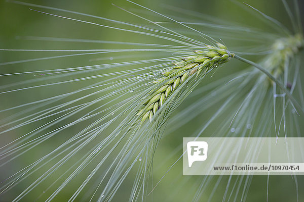 A head of barley in the green stage just after a summer rainfall  Palmer  Southcentral Alaska.