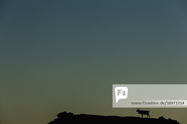 'Silhouette Of A Solitary Reindeer Standing On A Rock At Sunset; Eastern Iceland'