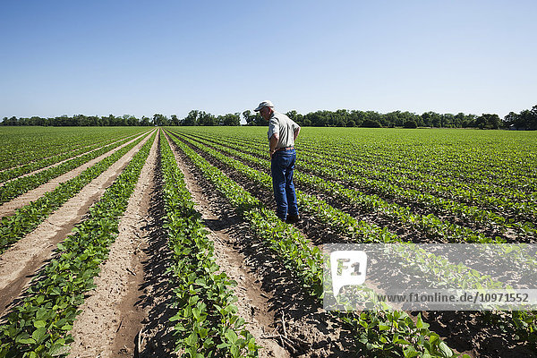 Crop consultant examines soybeans at second and third trifoliate stage; England  Arkansas  United States of America