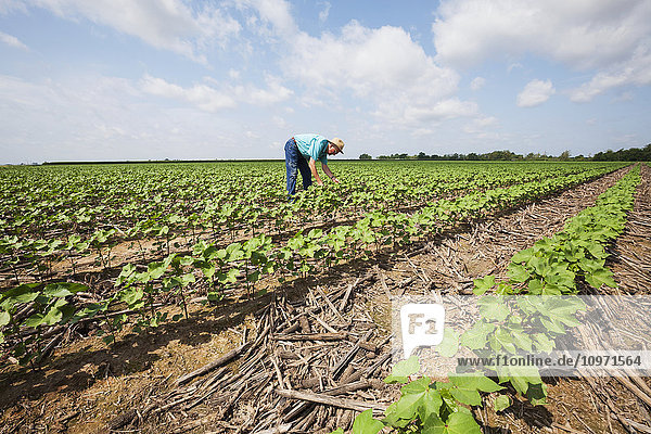 Crop consultant checks furrow irrigated cotton at mid square set stage; England  Arkansas  United States of America