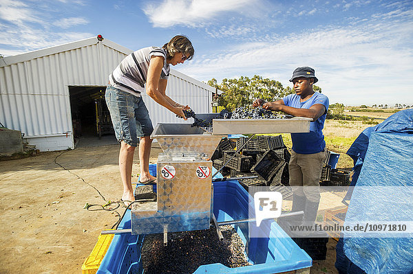Wine makers mashing wine grapes; Paarl  Western Cape  South Africa