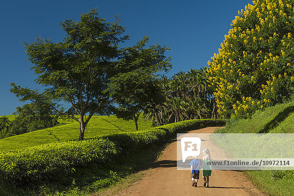 'Young boy and girl walking up road past fields of tea bushes and a Winter Cassia  Satemwa Tea Estate; Thyolo  Malawi'
