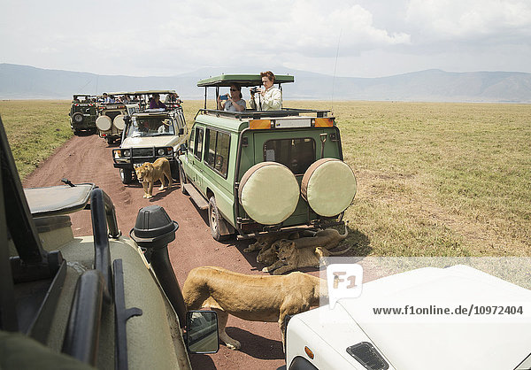 'Lions walk and lay on the road as tourists in safari vehicles take pictures in Ngorongoro Crater Conservation Area; Tanzania'