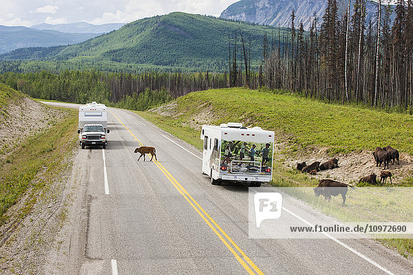 Recreational Vehicles waiting for a buffalo to cross the road  north of Liard Hot Springs  British Columbia  Canada  Summer