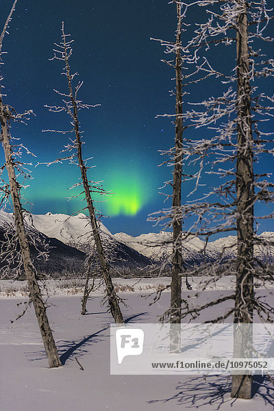 A patch of aurora borealis shines through frosty trees along the Turnagain Arm.