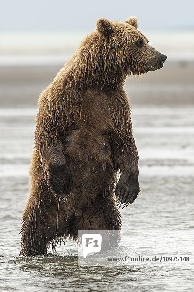 Brown bear sow looks for silver salmon in Silver Salmon Creek  Lake Clark National Park & Preserve.