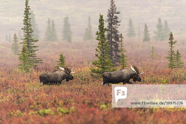 A pair of bull moose wander through a sparse taiga forest in Denali National Park & Preserve  Interior Alaska  Autumn