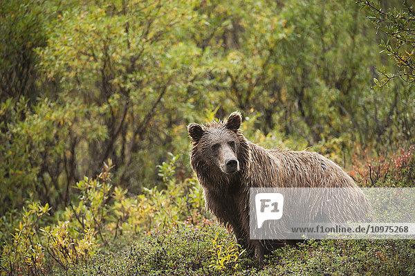 A soaked brown bear pauses at the foot of Polycrhome Pass  Denali National Park & Preserve  Interior Alaska