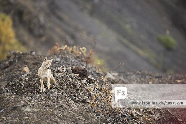 A coyote pauses alongside the park road below Sable Pass in Denali National Park & Preserve  Alaska.