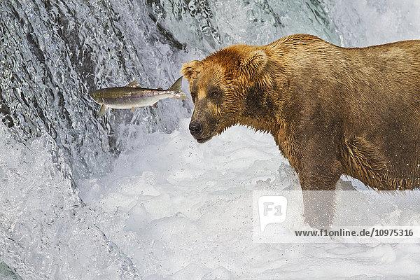 Brown bear (Ursus arctos) standing in rapids below Brooks Falls while looking at a jumping Sockeye salmon  Katmai National Park and Preserve  Southwest Alaska