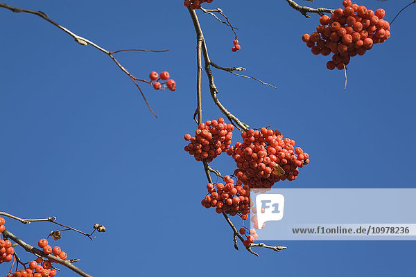 Tree Branches With Wild Orange Berries Against A Blue Sky Background  Lanaudiere  Quebec  Canada