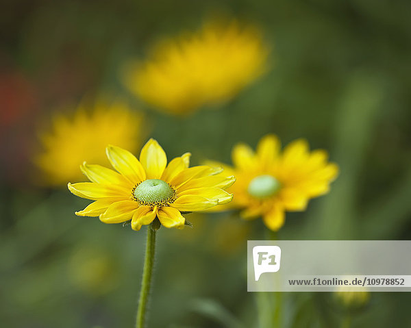 'Close-up of black-eyed Susan flowers in Assiniboine Park; Winnipeg  Manitoba  Canada'