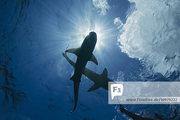 'Blacktip reef sharks (Carcharhinus melanopterus) cruise just below the surface off the island of Yap; Yap  Micronesia'