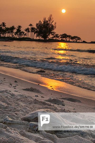 'A sea turtle rests on the beach at sunset near Kailua-Kona; Island of Hawaii  Hawaii  United States of America'