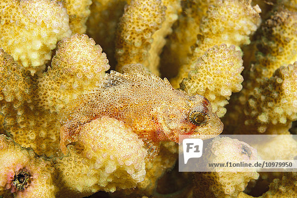 'The dwarf scorpionfish (Sebastapistes fowleri) is the smallest of this family and in Hawaii it is often found in cauliflower coral (Pocillopora meandrina) as pictured here; Kauai  Hawaii  United States of America'