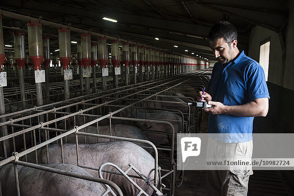 Salamanca  Spain  Pig farmer examining iberian pigs with a pda in a factory farm