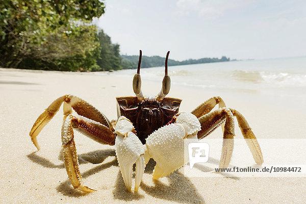 Thailand  Tubkaek  Hornaugen-Geisterkrabben am Strand