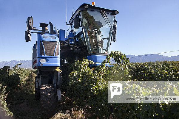 Traubenerntemaschine im Weinberg