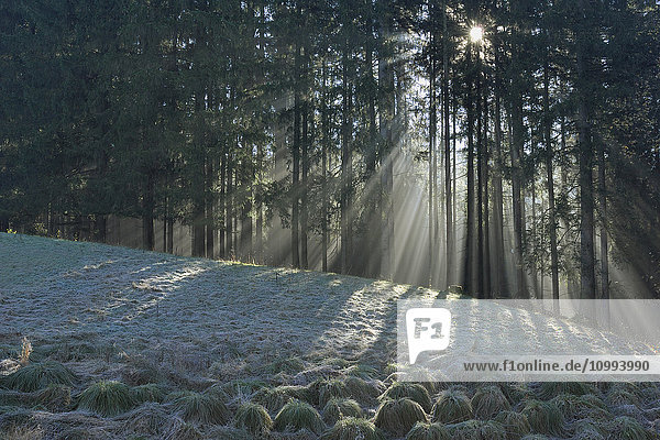 Sunlight Through Trees  Bavaria  Germany