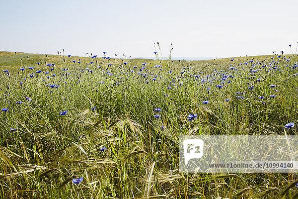 Field of Blue Cornflowers in Summer  Denmark