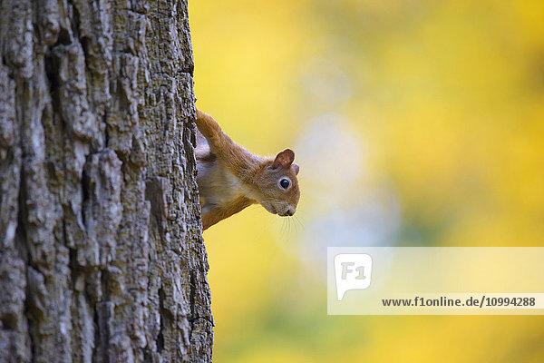 Eurasian Red Squirrel (Sciurus vulgaris) in Autumn  Hesse  Germany