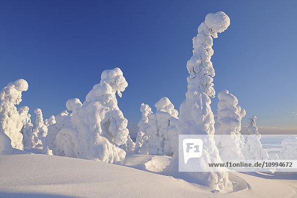 Snow Covered Trees in Winter  Rukatunturi  Kuusamo  Nordoesterbotten  Finland