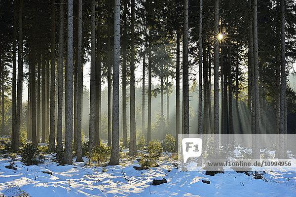 Sun through Coniferous Forest in Winter  Altenau  Harz  Lower Saxony  Germany