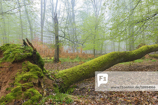 Fallen Tree Covered in Moss in Beech Forest in Spring  Hesse  Germany