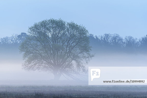 Tree in Early Morning Mist  Hesse  Germany