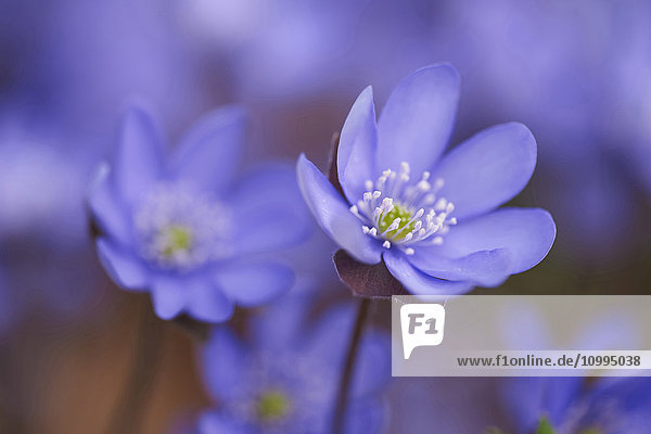 Close-up of Common Hepatica (Anemone hepatica) Blossoms in Forest in Spring  Bavaria  Germany