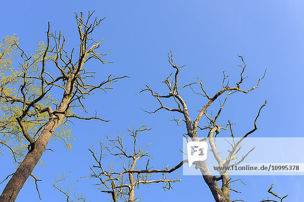Branches of Dead Old Oak Trees  Hesse  Germany