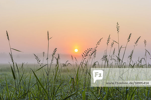 Blades of Grass in Morning Mist at Sunrise  Hesse  Germany