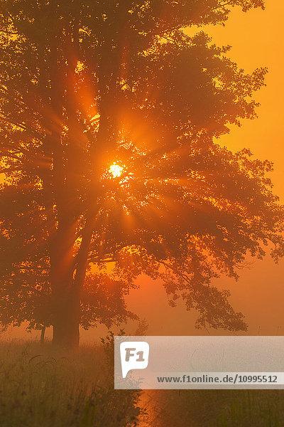 Black Alder in Morning Mist at Sunrise  Hesse  Germany