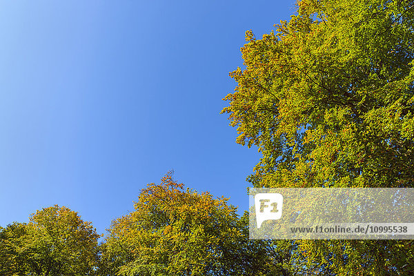View from Beech Forest Glade Against the Sky in Early Fall  Beech Forest  Spessart  Bavaria  Germany