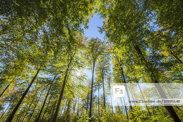 View looking-up into Beech treetops with Sun in Early Fall  Spessart  Bavaria  Germany