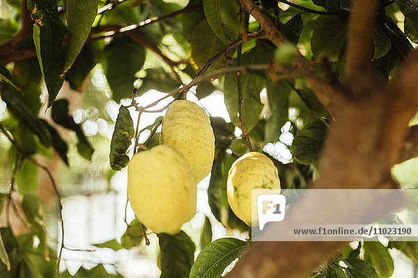 Close-up of lemons growing on tree