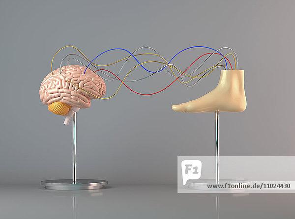 Kabel verbinden ein menschliches Gehirn mit einem Fuß