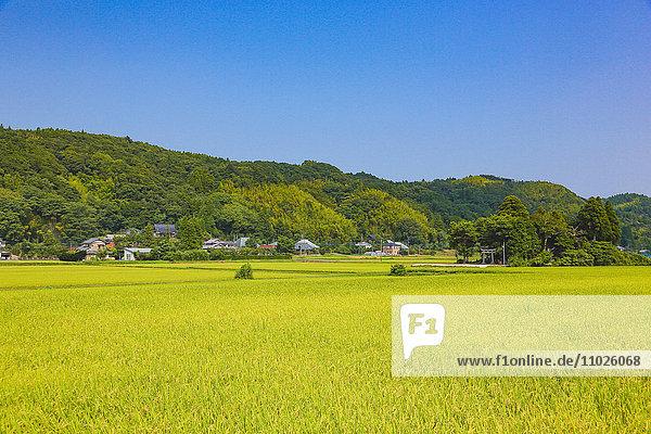 Rice field  Chiba Prefecture  Japan