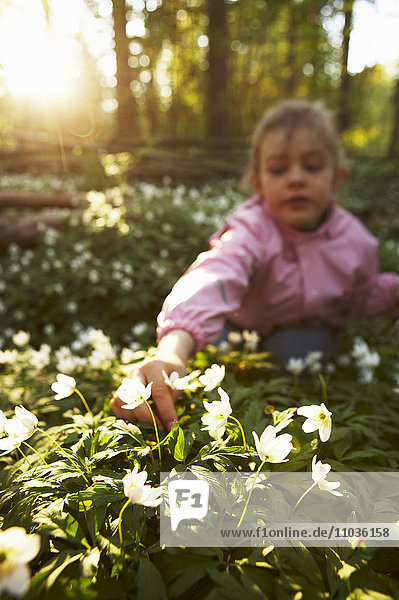 A girl picking wood anemones  Sweden.