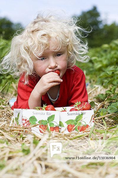 Scandinavian girl picking strawberries  Sweden.