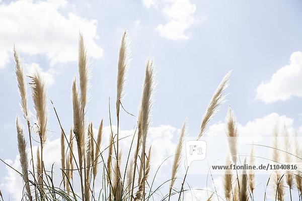 Hohes Gras gegen blauen Himmel mit Wolken gepunktet