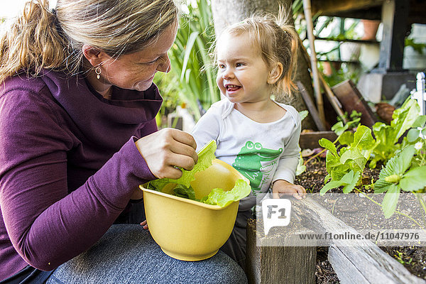 Caucasian mother and daughter picking lettuce from garden