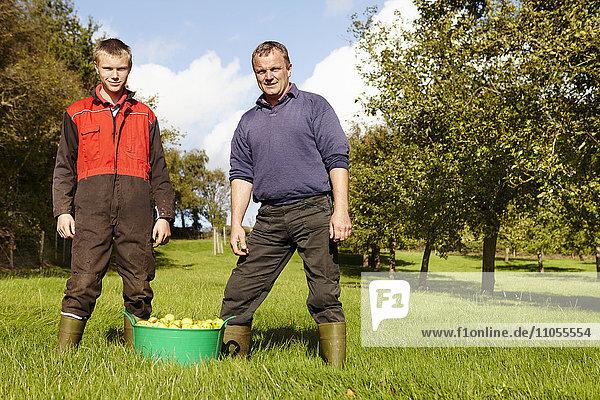 Vater und Sohn arbeiten in einem Familienbetrieb und ernten Mostäpfel in einem Obstgarten.