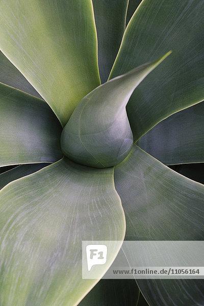 Nahaufnahme der Blätter der sukkulenten Yucca-Pflanze.