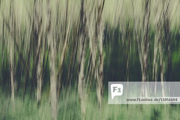 Unscharfe Bewegung. Ein Erlenwald im Olympic National Park